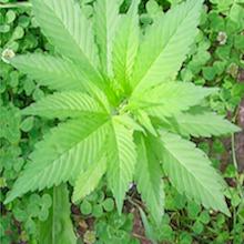 Kwok: The Marijuana Lottery