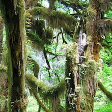 Malonecr7.800px-Hoh_National_Rainforest