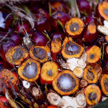 A cross-section of harvested palm oil fruits in Riau, Indonesia. Oil extracted from the orange fleshy mesocarp is used as cooking oil and in food products whereas oil from the white kernel is incorporated into detergents and cosmetics. Wudan Yan.