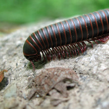 Wilcox: Centipede Sushi