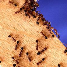 Berkowitz: Smart Ants