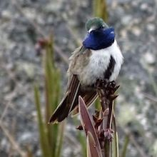 Buehler: True Blue—And Endangered