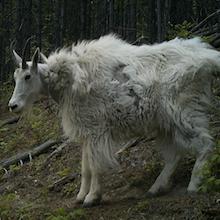 Heisman: Instagram Goat Coats