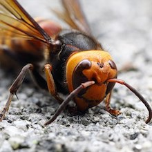 Embry: Homicidal Hornets