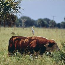 photo of an egret sitting on top of a brown cow who is eating grass next to a palm tree