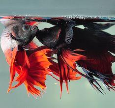 photo of two Betta fish fighting
