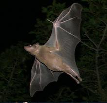 photo of flying bat